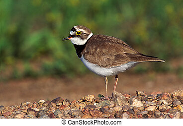 Little-ringed plover, Charadrius dubius, single bird on...