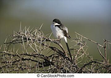 Long-tailed fiscal shrike, Lanius cabanisi, single bird on...