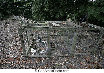 Magpie, Pica pica, Bird in trap set by gamekeeper, Summer,...
