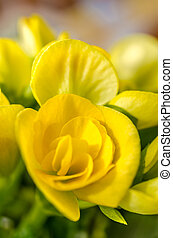 Yellow Begonia Flower Close Up