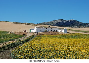 Sunflower field and farm, Andalusia - Cortijo with...