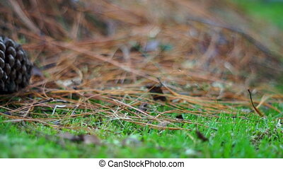 Pine Cone in the Grass Dolly - Short depth of field, close...