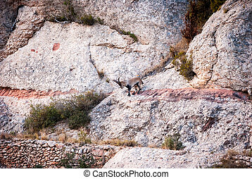 Spanish Ibex, Capra pyrenaica in the mountains - Spanis...