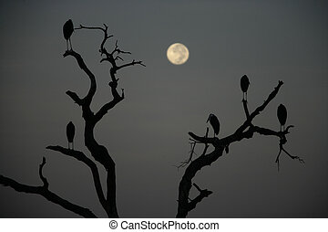Marabou stork, Leptoptilos crumeniferus, group of birds in...