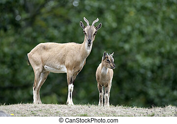 Markhor goat, Capra falconeri, female and young, Native to...