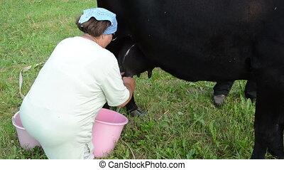 farmer black cow milking - farmer dressed in white milking...