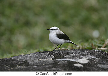 Masked water-tyrant, Fluvicola nengeta, single bird on...