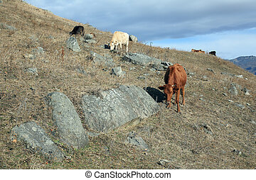 Cows on a hillside - Some cows on a hillside