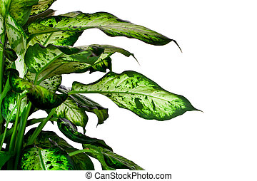 Dieffenbachia closeup on white background