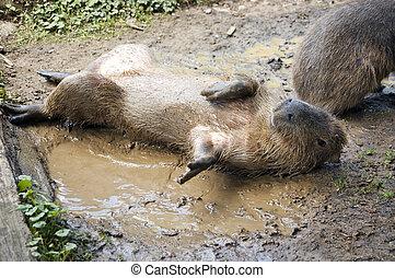 Capybara - A capybara (Hydrochoerus hydrochaeris) on a bank