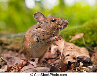 Field Mouse (Apodemus sylvaticus) sniffing - Field Mouse...
