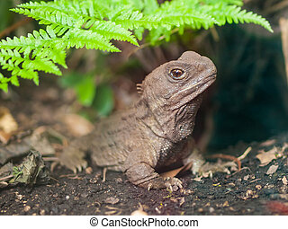 Tuatara reptile nz - Tuatara, also called living fossil, is...