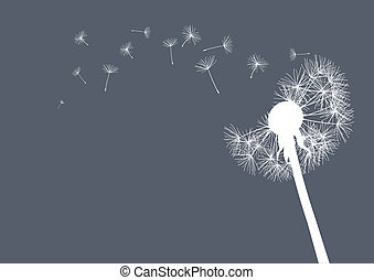 white dandelion on grey background