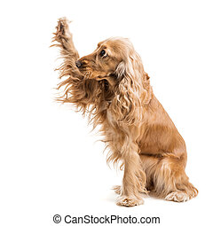 red dog breed Spaniel gives paw, isolated