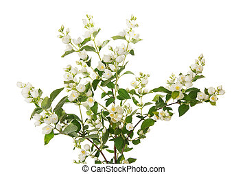 Beautiful branch of jasmine with many flowers isolated on...