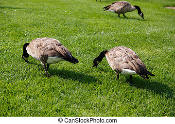 Three Canada Geese Grazing - Canada geese grazing in lush...