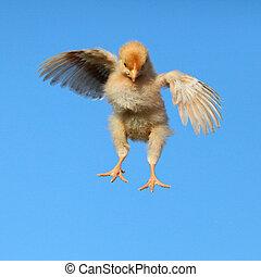 galinha, voando