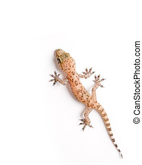 Gecko climbing - Studio shot of gecko isolated on white