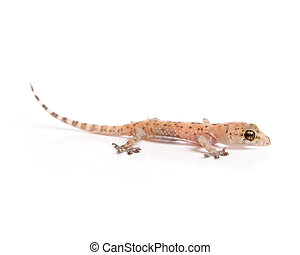 Gecko lurking - Studio shot of gecko isolated on white