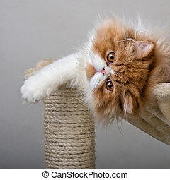 House Persian kitten Of Red and White Color - House Persian...