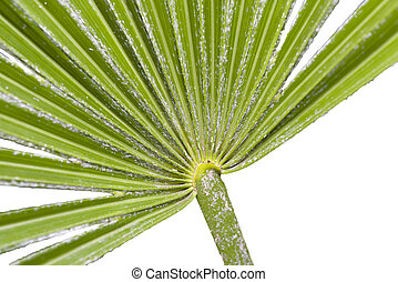 Needle Palm Macro - Close up view of the base of a needle...