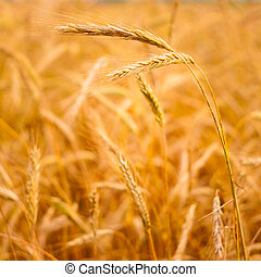 Golden Barley Ears - A Barley Field With Shining Golden...