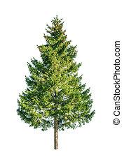 fir - green fir isolated on white