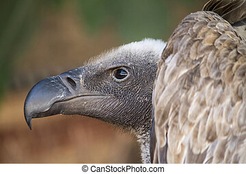 Griffon Vulture (Gyps fulvus) - Close up view of a Griffon...