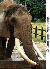 Mysore park elephant-I - A big elephant with long tusks in...