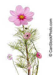 herbáceo, planta perenne, plantas