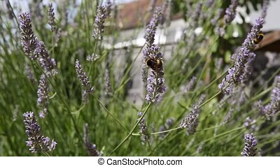 Bumble bee on lavender - Bumble bees on lavender in the...