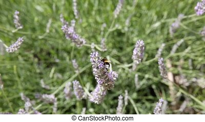 Bee landing on lavender dropping vertically