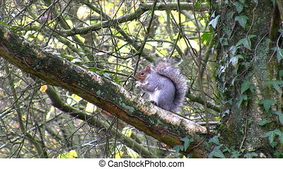 Gray squirrel eating nut