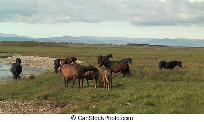 icelandic horses in green pasture
