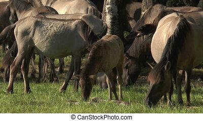 wild horses grazing - herd of wild horses duelmen ponies...