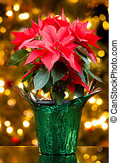 Poinsettia plant in a pot with Christmas lights in the...