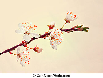Blooming sakura branch.