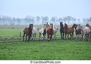 herd of running horses on foggy pasture, Holland