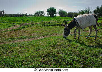 Donkey Grazing On Pasture - Donkey grazing on pasture over...