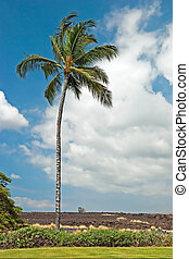 Palm tree in Kona on Big Island Hawaii with lava field in background