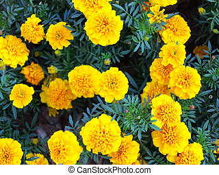 Yellow flowers in the garden. Marigold tagetes - Yellow...