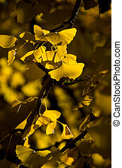 vivid yellow ginkgo tree - this photo is taken in Nagoya
