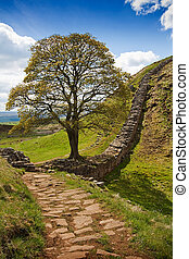 Sycamore Gap on Hadrians Wall - Sycamore Gap part of...