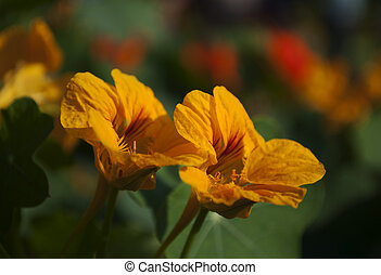 Yellow flowers blooming with dark background