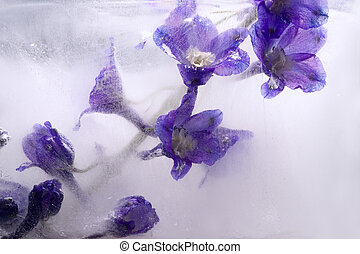 Background of aconite flower frozen in ice - Flowers of...