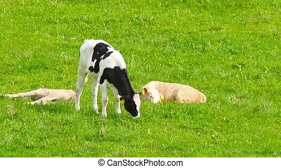 calves in the meadow