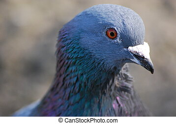 Ferel Pigeon - close up of face