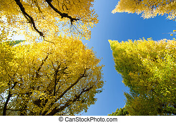 The ginkgo trees against blue sky, worm eye view