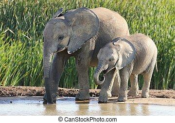 African Elephant Siblings