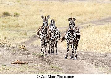 Zebra (Equus burchellii) - Zebras (Equus burchellii) in the...